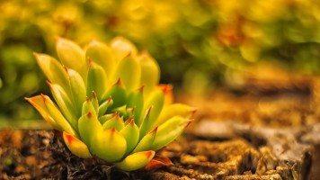 young-lotus