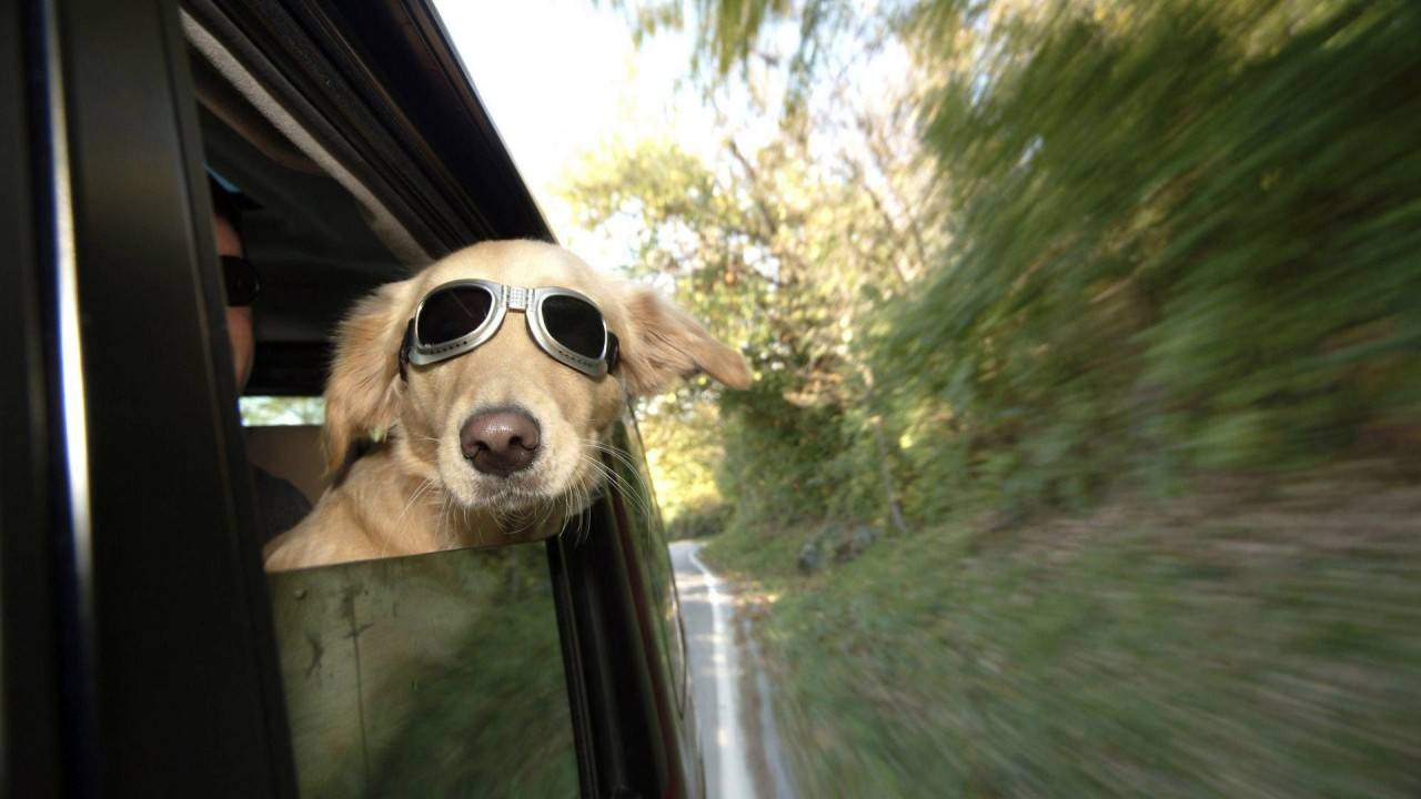 hd wallpaper funny dog sitting in car