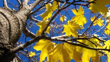 yellowed-leaves