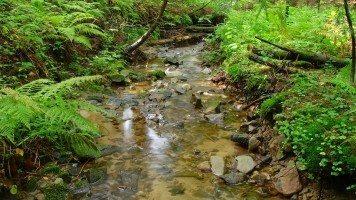 ferns-near-a-creek