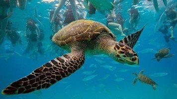 hawksbil-turtle-hd-wallpaper