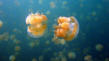 hd-wallpaper-jellyfish-fish-underwater