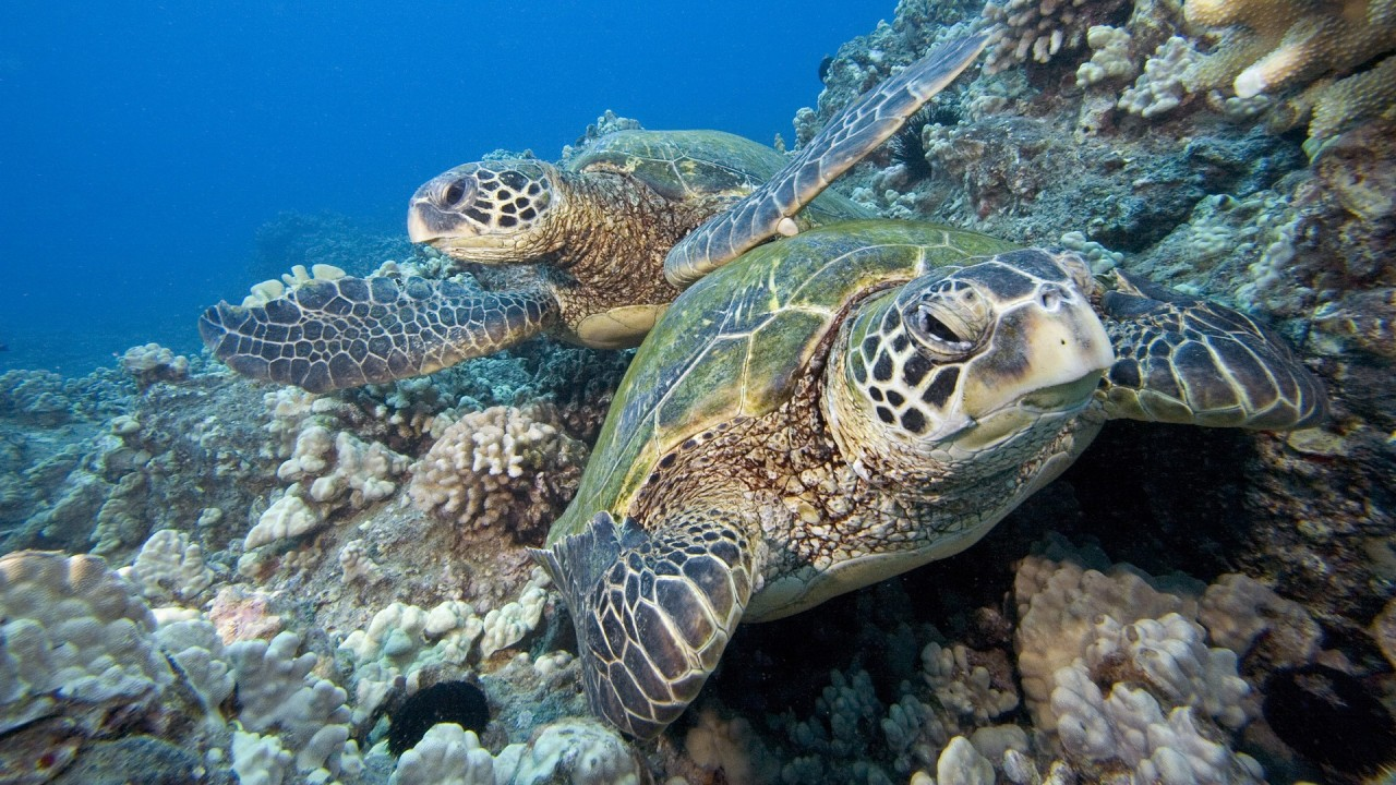 hd wallpaper pair of underwater green sea turtle