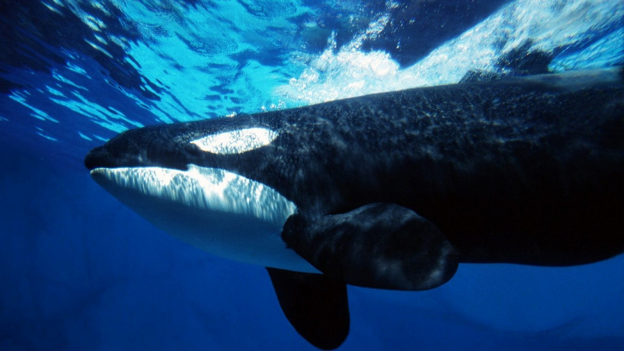 orca underwater hd wallpaper