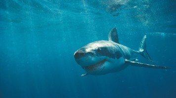 underwater-fish-great-white-shark-hd-wallpaper