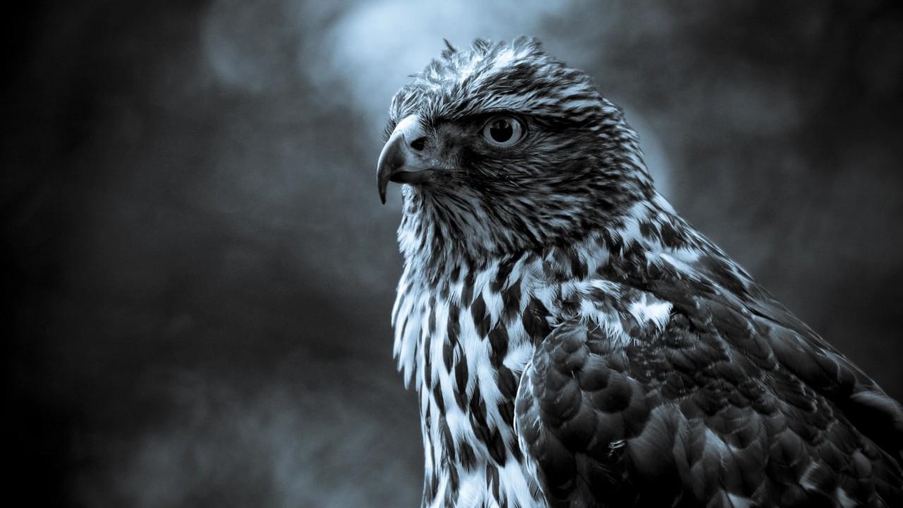 Gray hawk wide