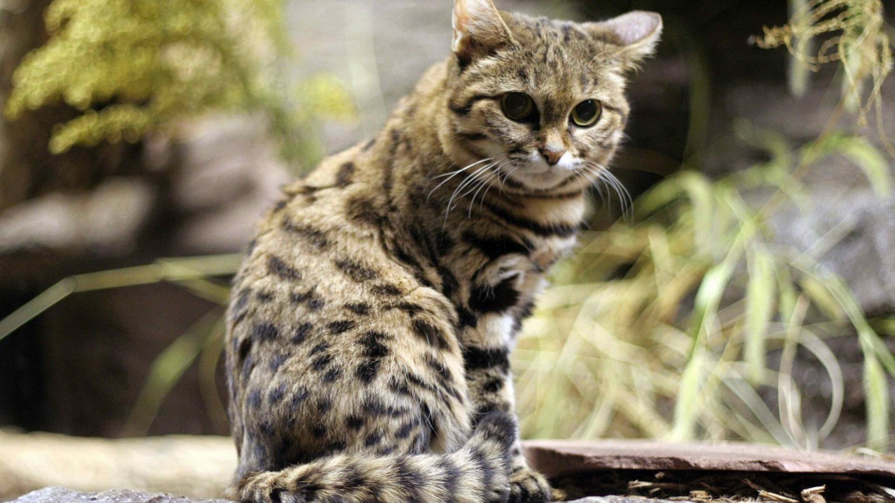My little leopard cat