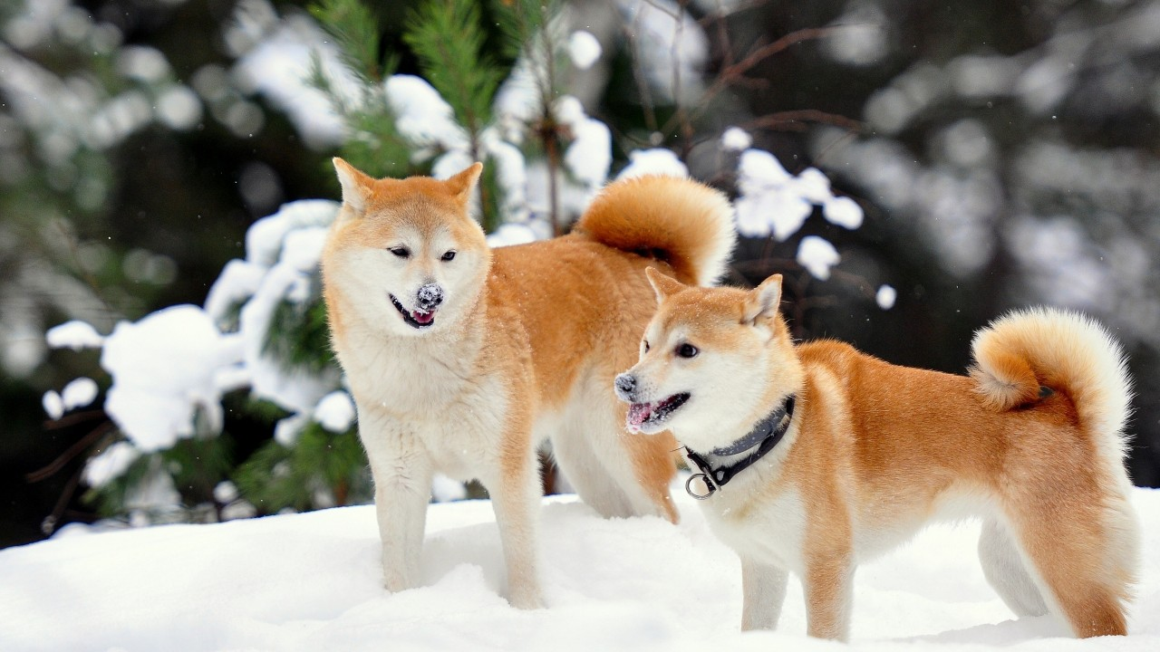 fawn dogs in snow