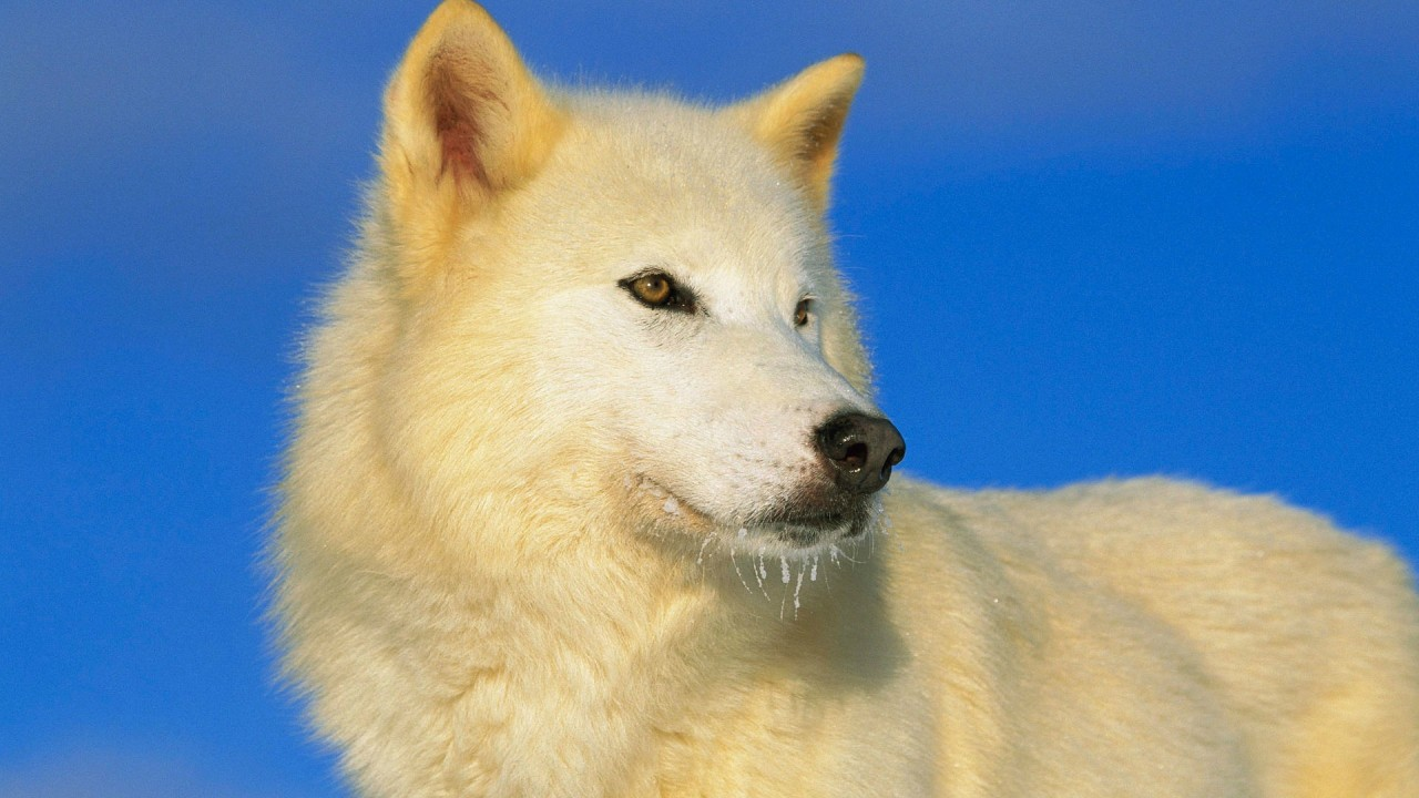 ice white wolf beards