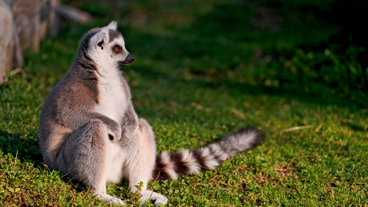 lemur sit and watch