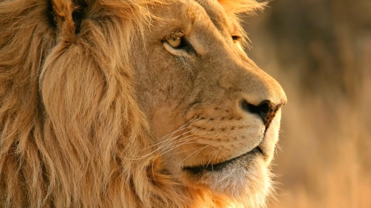 lion wide