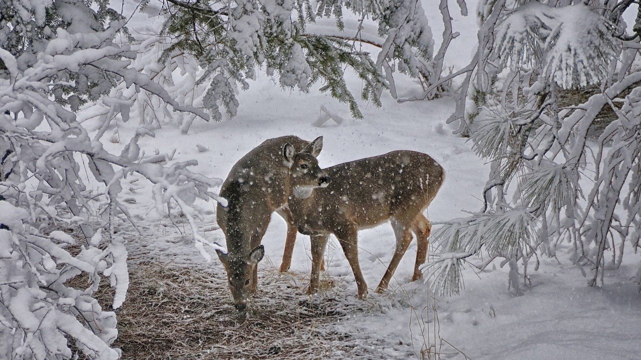 two deer are grazing in winter