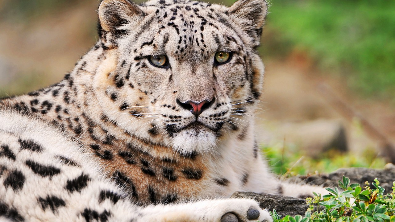 white snow leopard wide