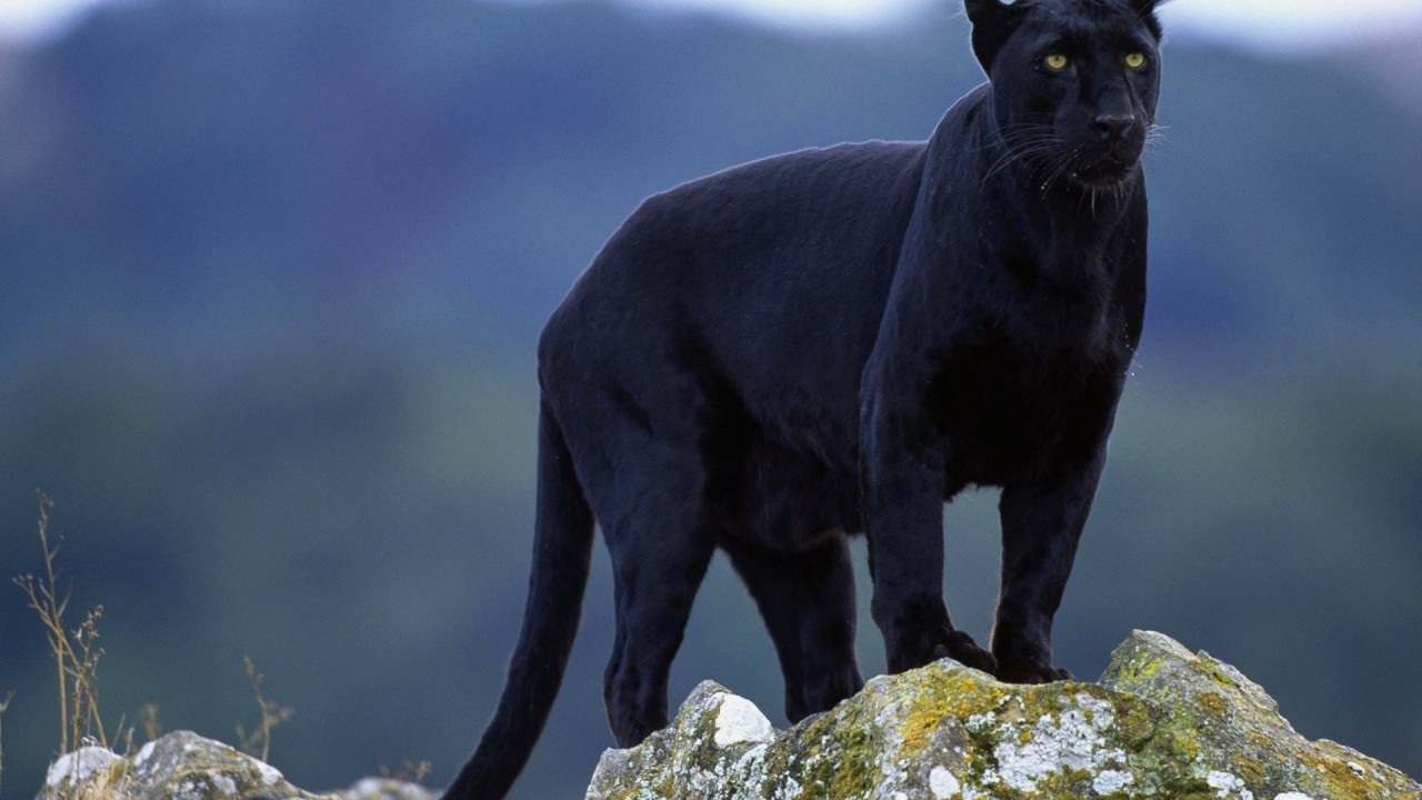 Pantera black
