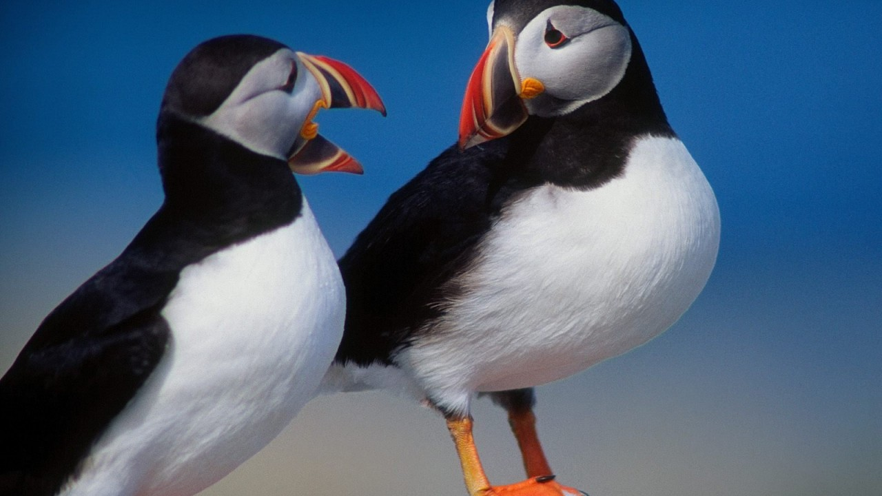 a pair of puffins normal