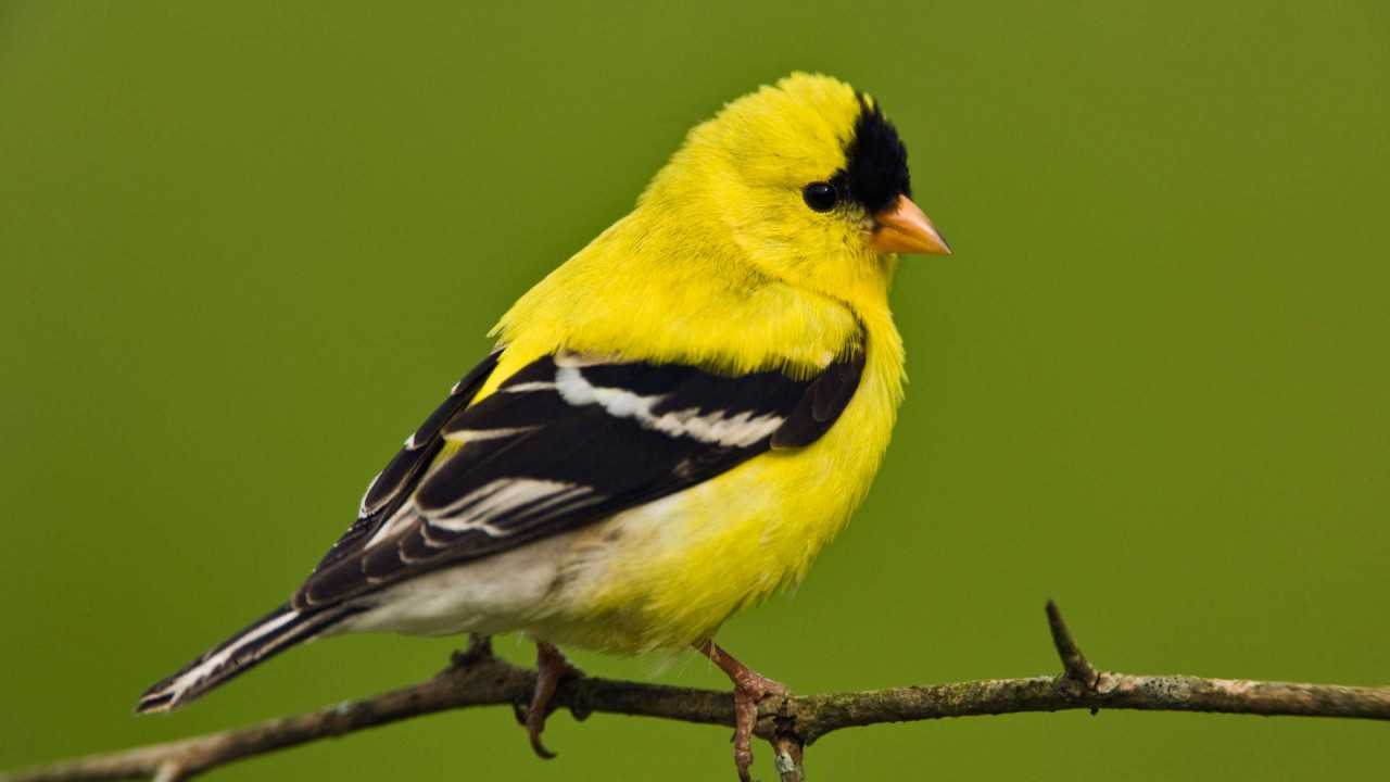 american goldfinch wide