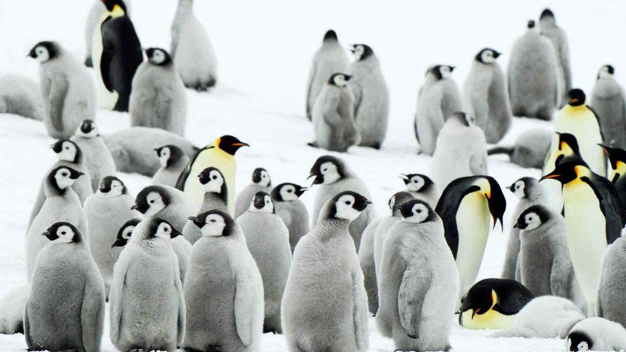 antarctica penguins wide