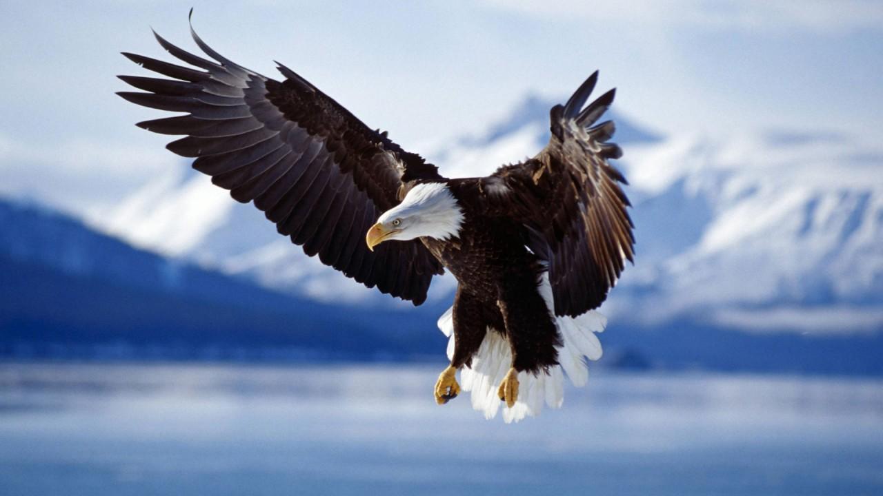 bald eagle in flight alaska wide