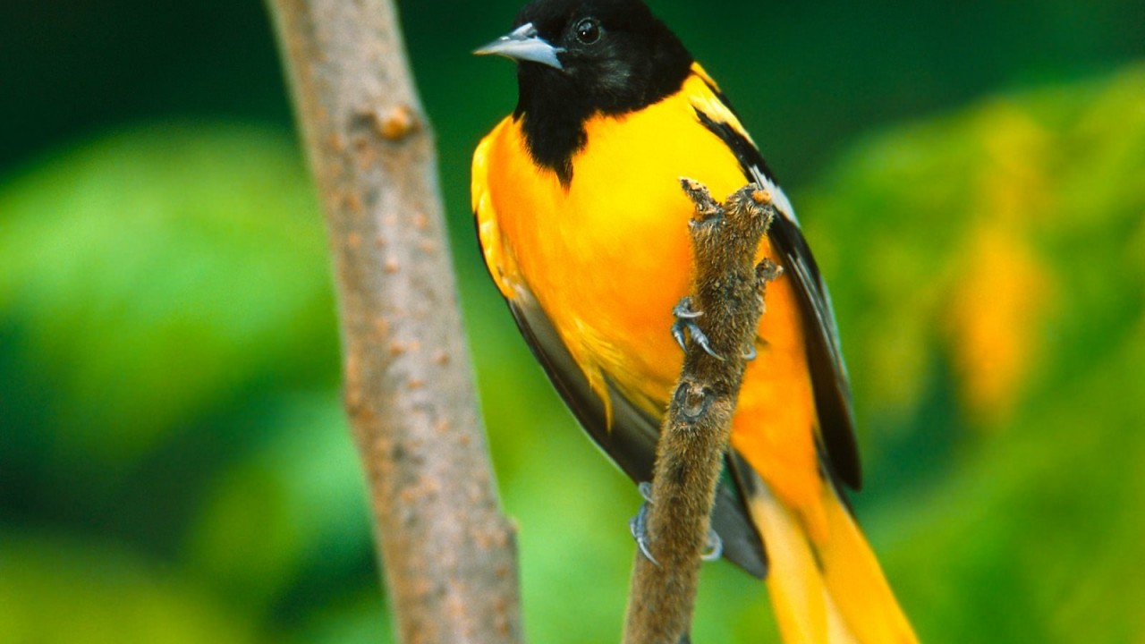 baltimore oriole normal