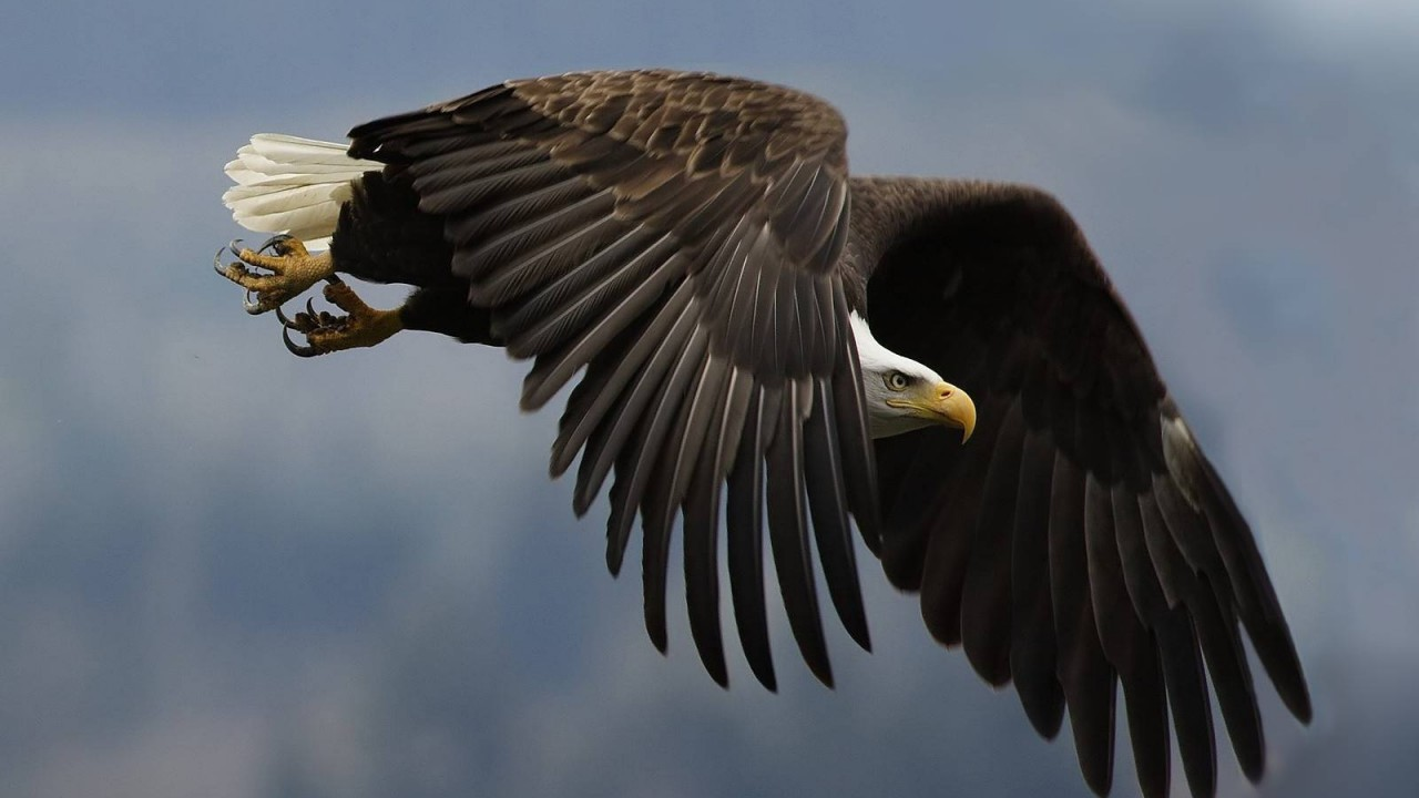 birds animals eagle hd wallpaper