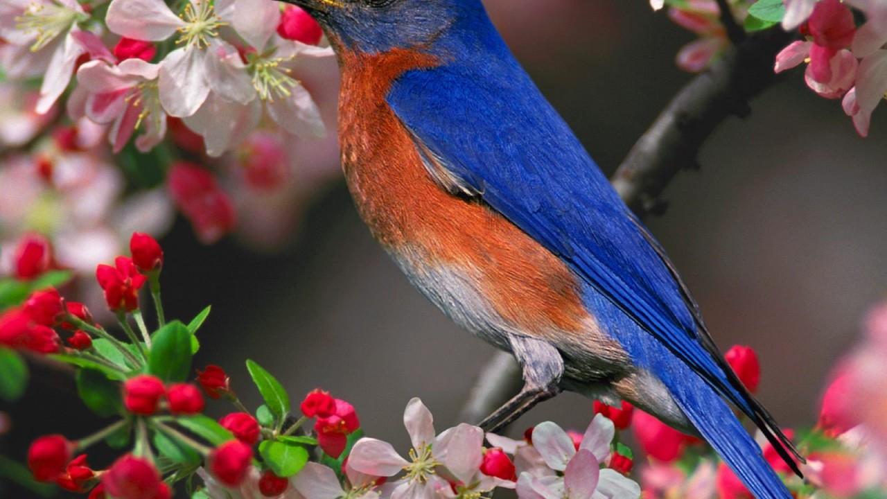 bluebird normal