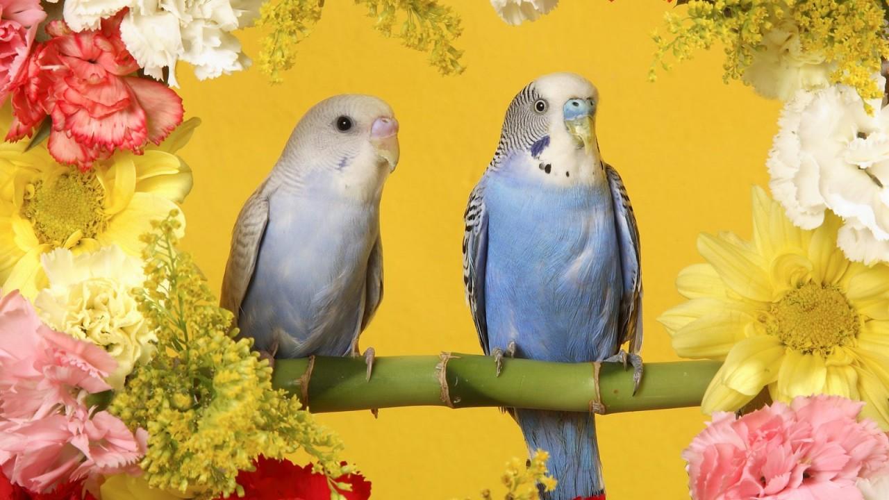 budgerigars normal