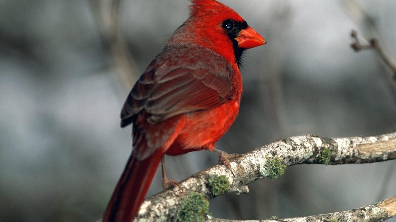 cardinal normal
