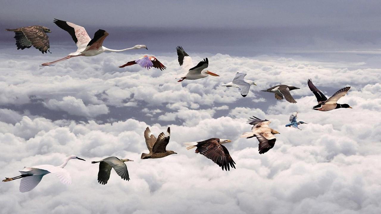 hd wallpaper Birds Flying In Row Wallpaper