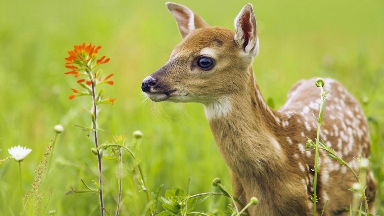 hd wallpaper baby deer in yhe field
