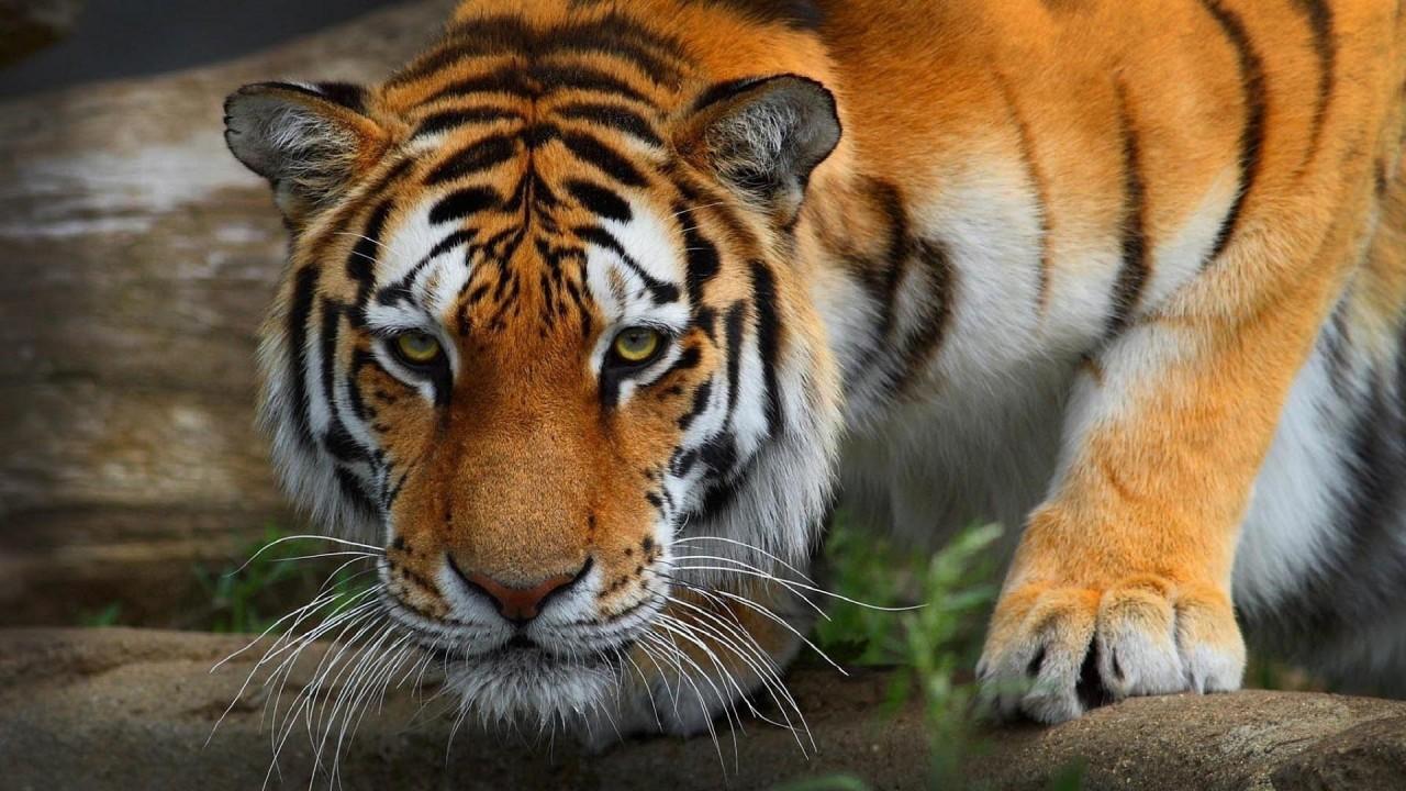 tiger sneaking