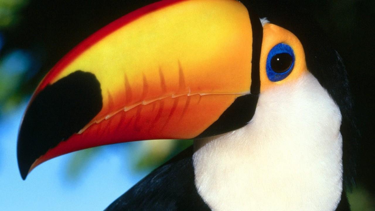 toco toucan normal