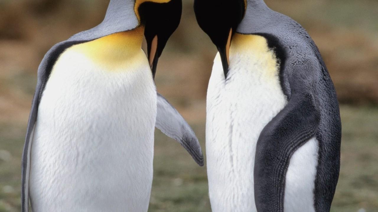 tuxedo check king penguins normal