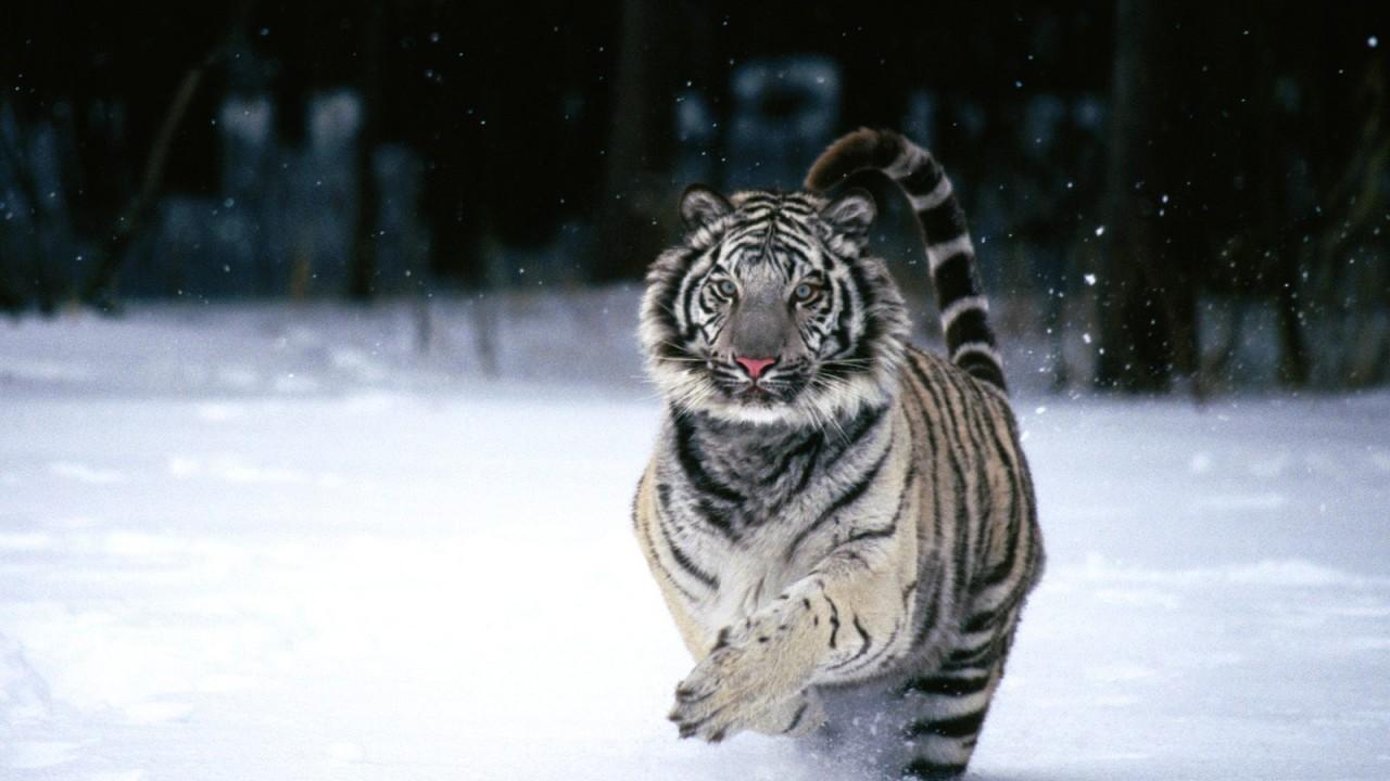 white tiger normal