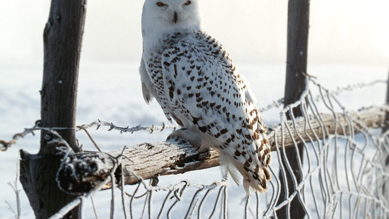 white winter owl normal