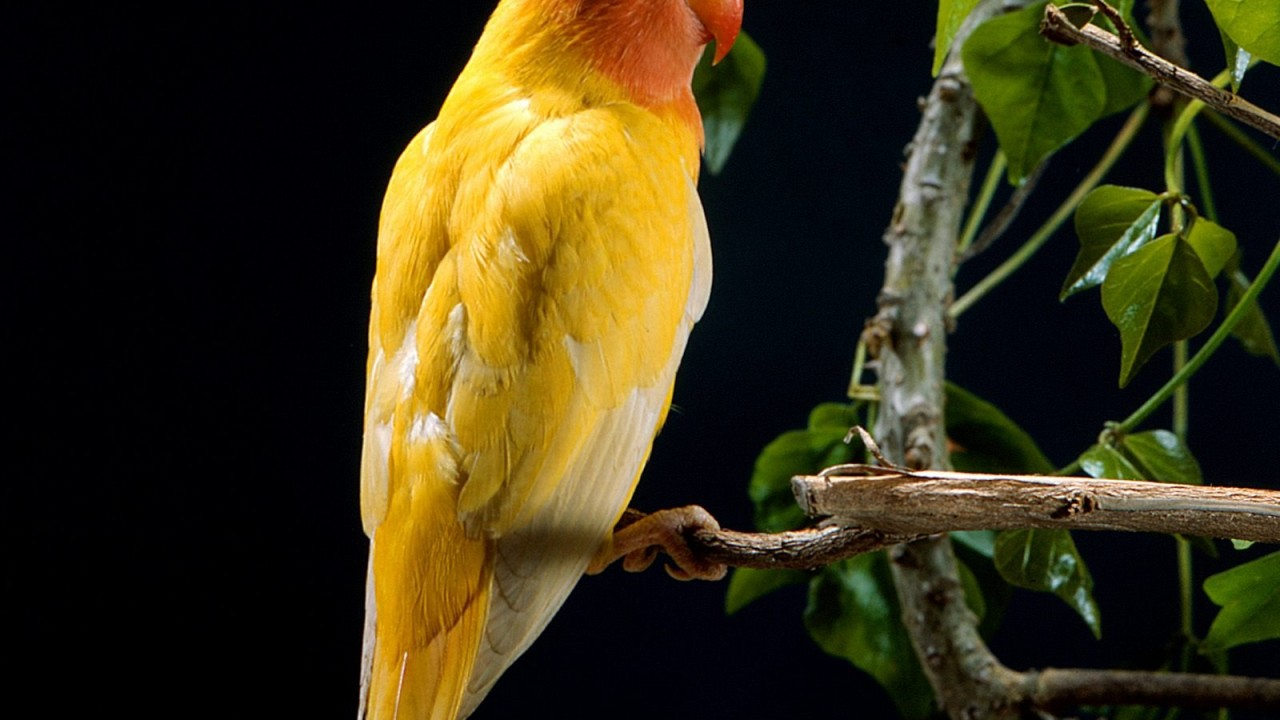 yellow parrot normal