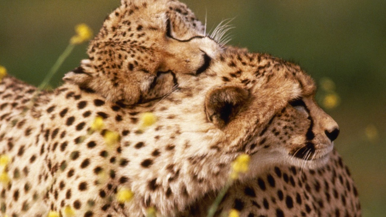 affectionate cheetahs normal