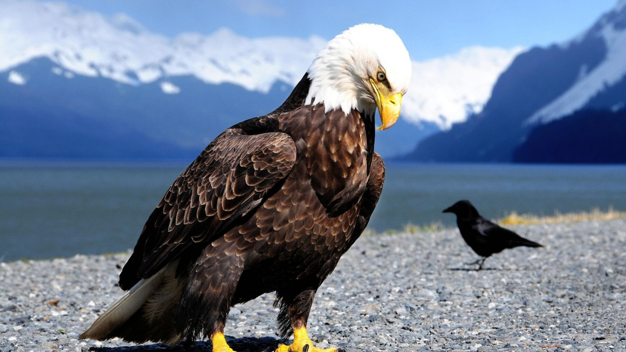 eagle bird hd wallpaper