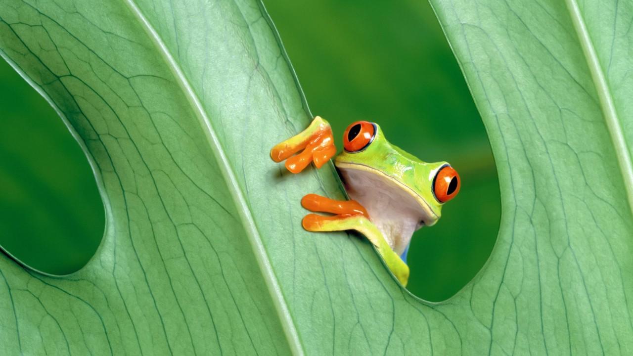 frog wide