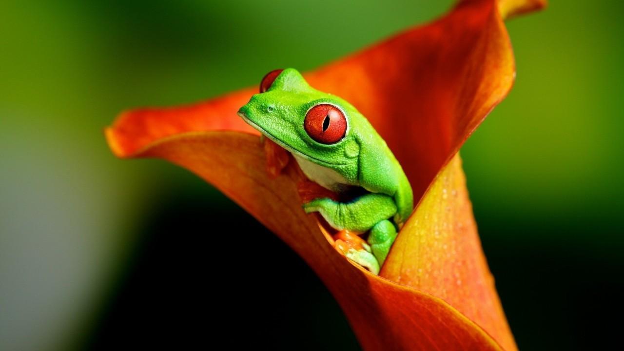 green frog in orange flower