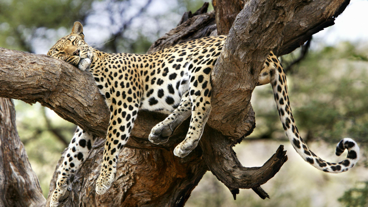 leopard sleeping in tree