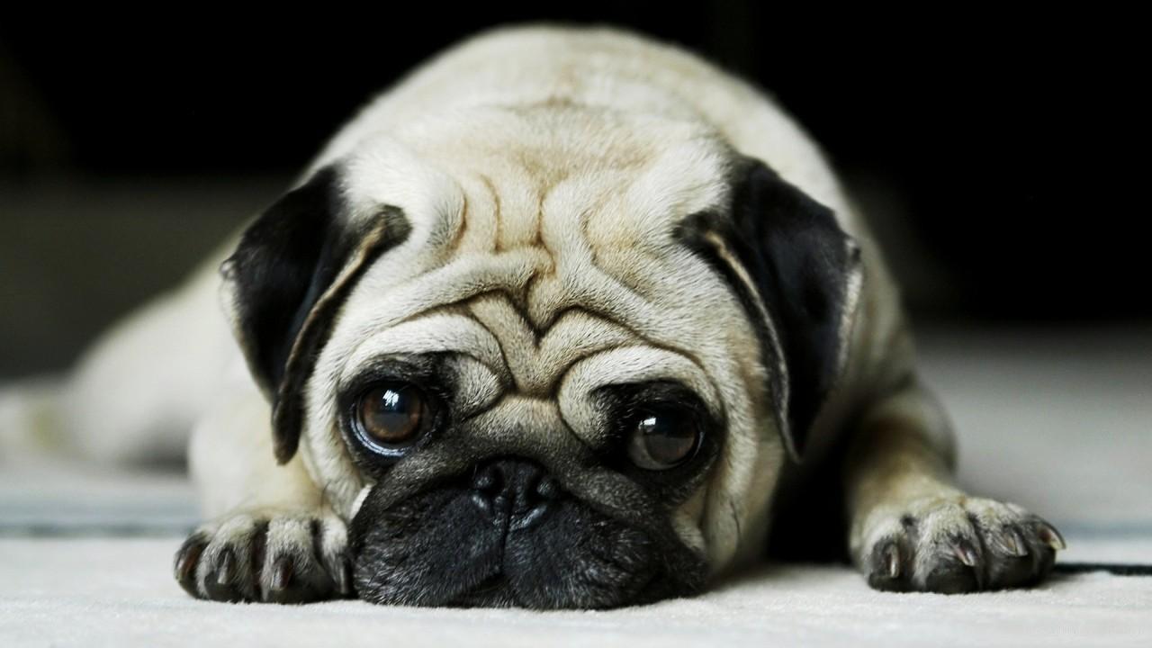 pug dog hd wallpaper