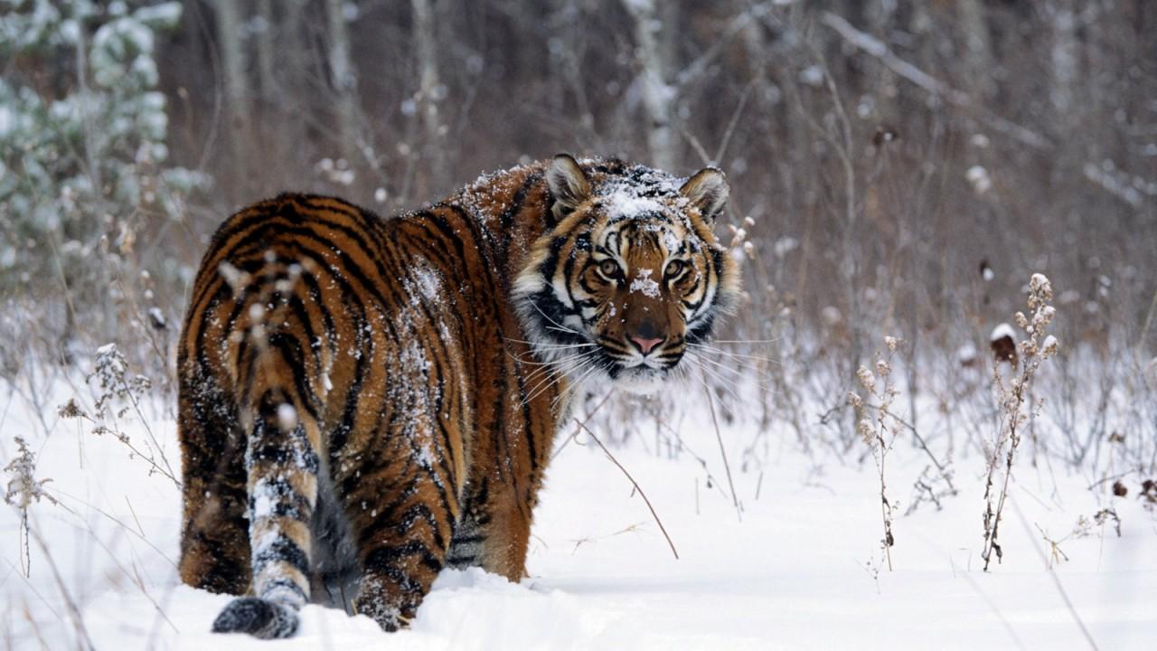 tiger in snow normal