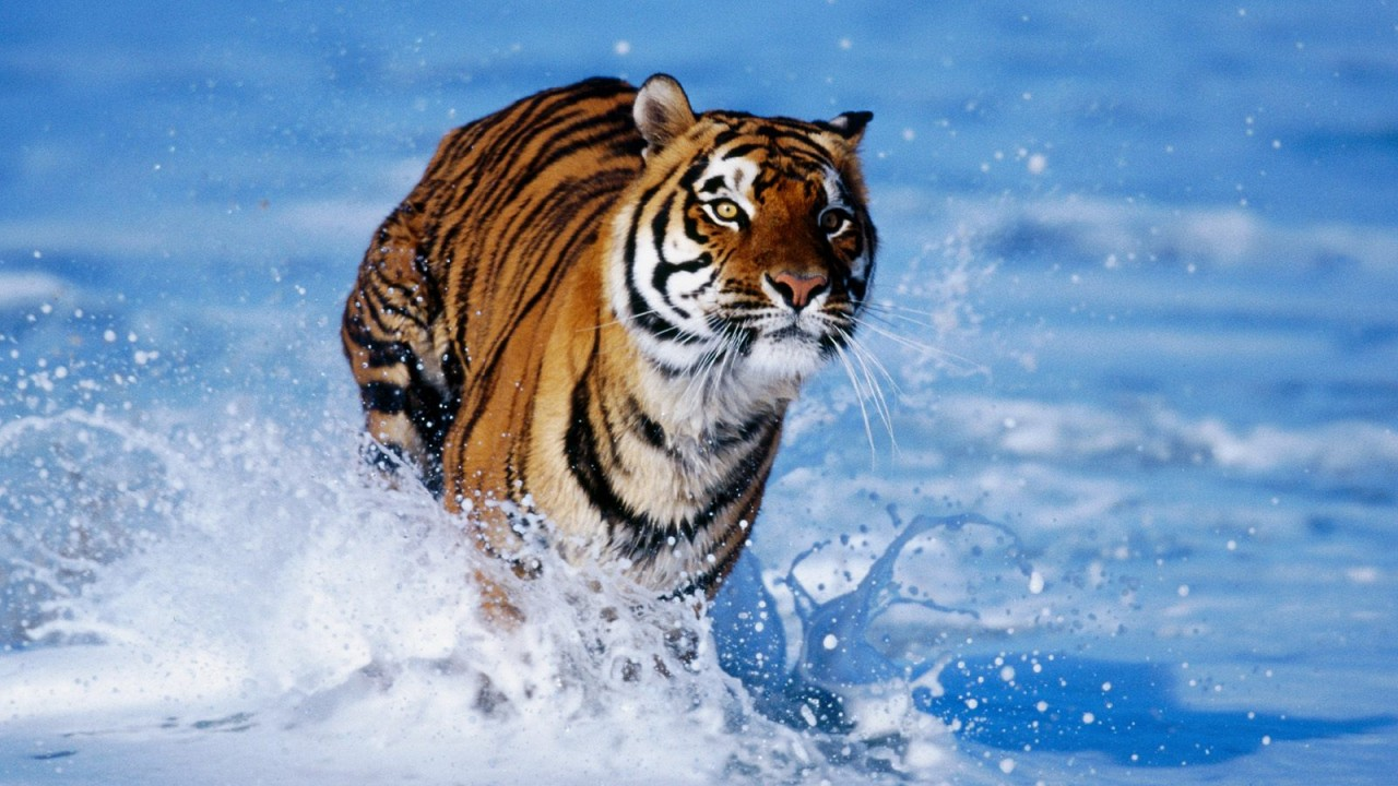 tiger in water normal