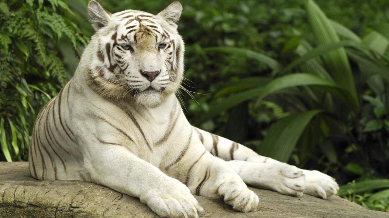 tiger panthera tigris singapore wide