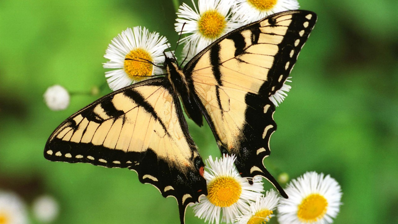 tiger swallowtail butterfly wide