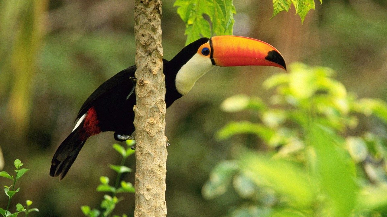 toco toucan in the tropical forest normal