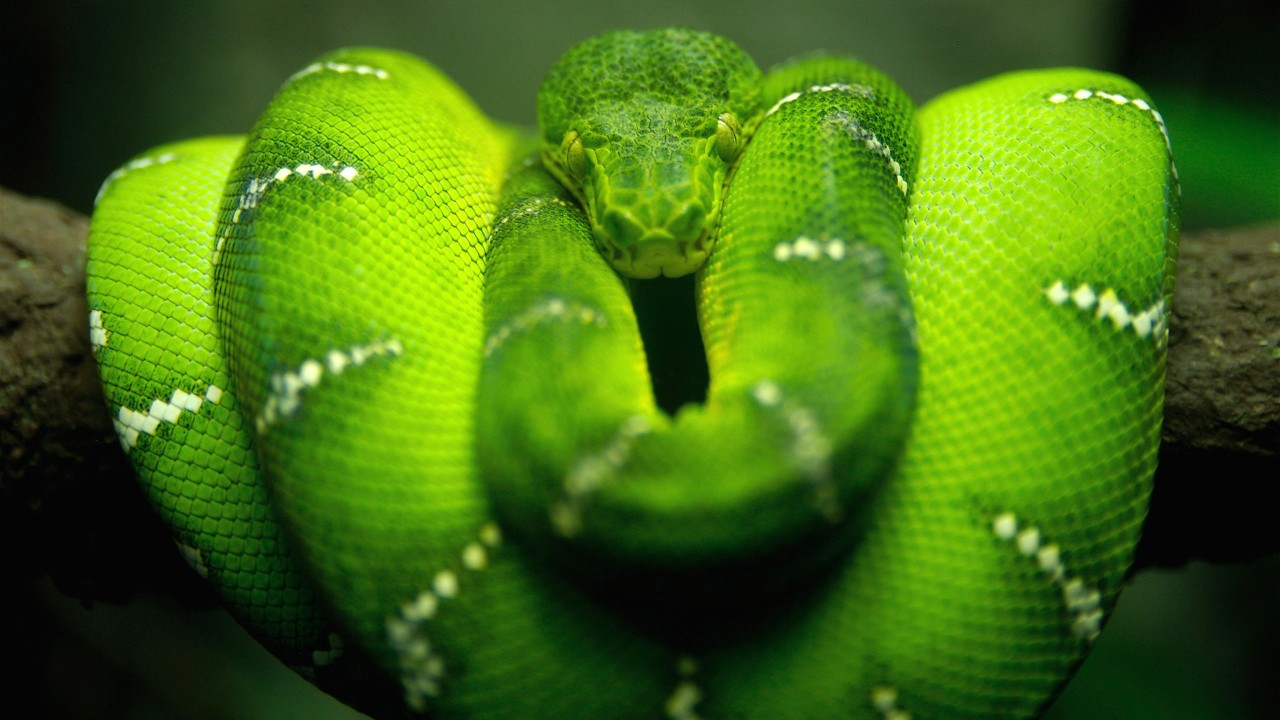tree snake hd wide