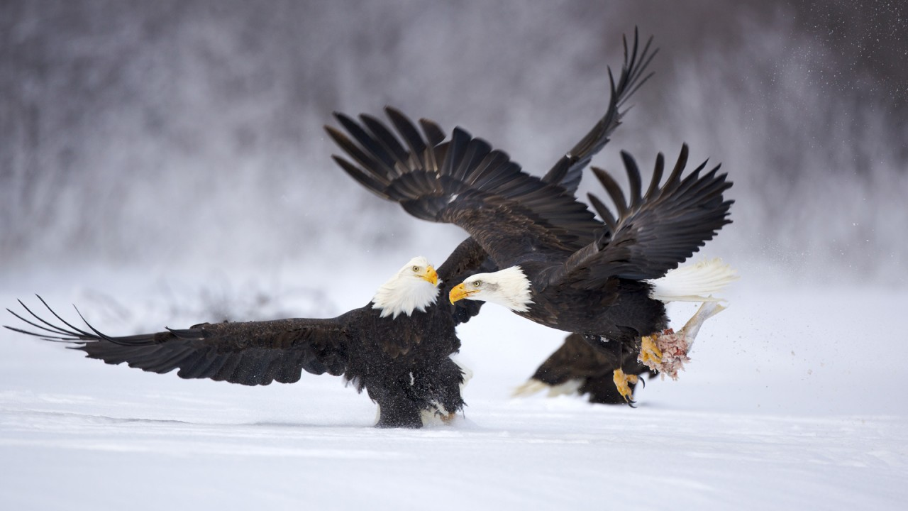 two eagles to hunt