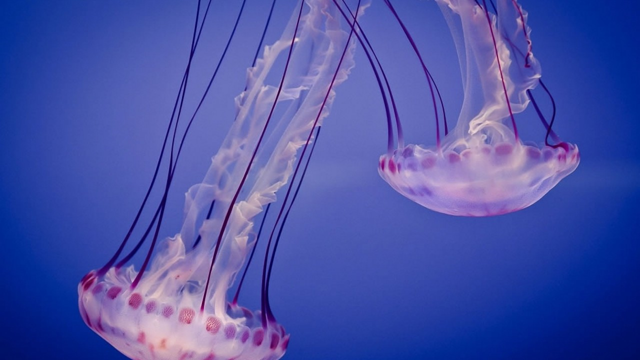 two pink jellyfish