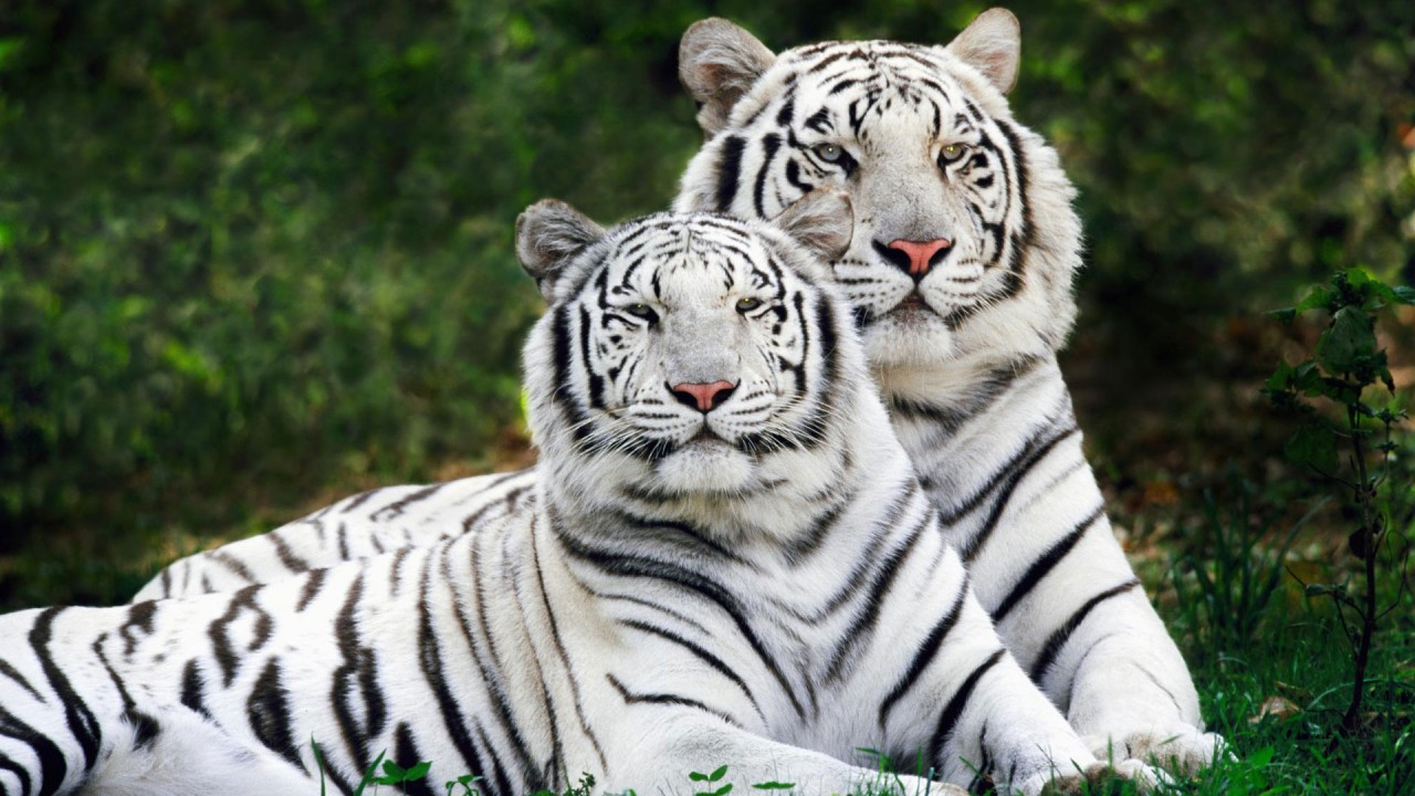 white bengal tigers widescreen wide